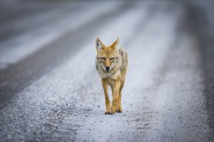 Coyote on road