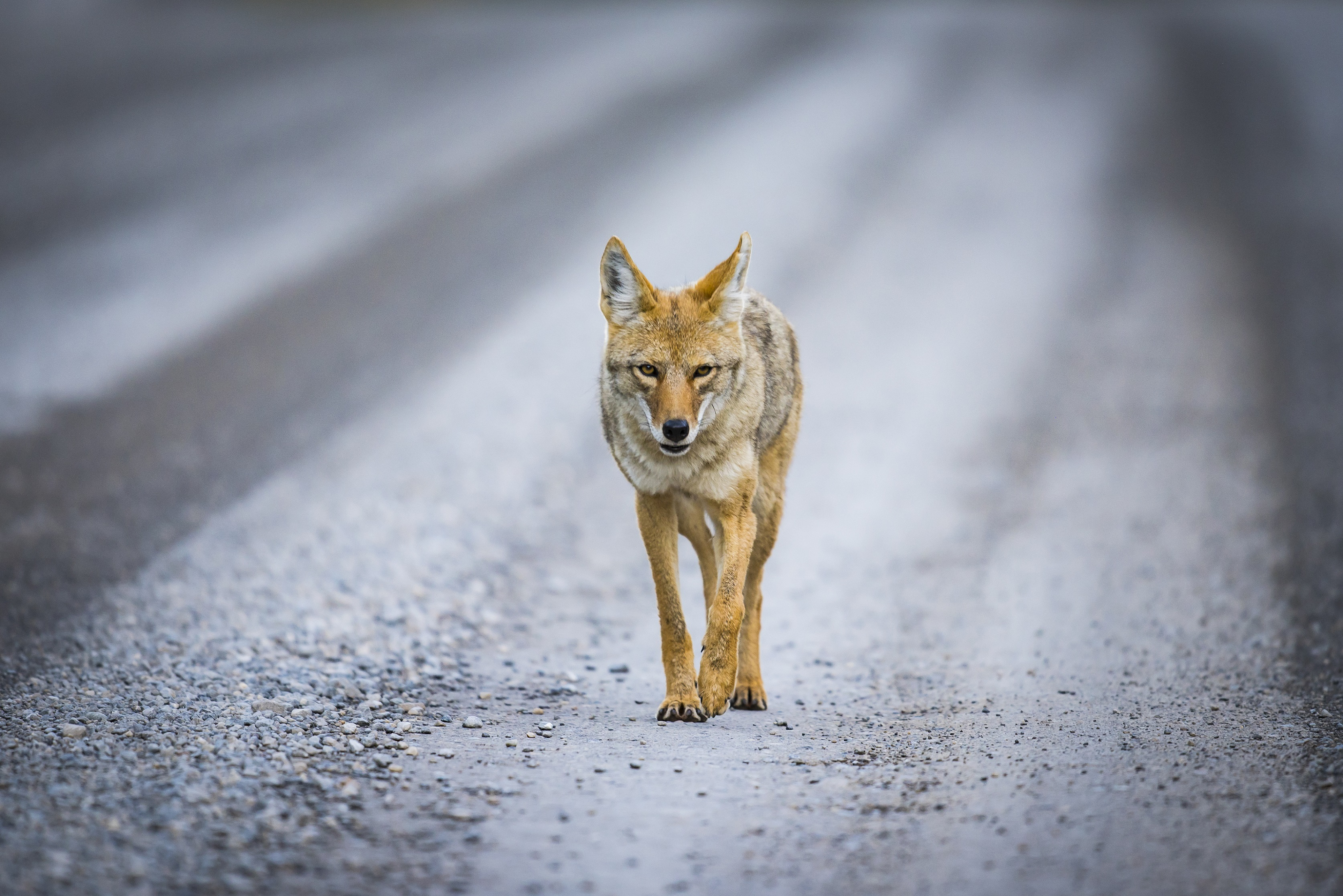 North Line COYOTE (coyote on road pictured)